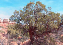 Tough Old Utah Juniper by John Bailey