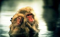 Snow Monkeys von Giorgio Giussani