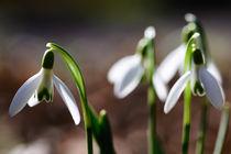 Schneeglöckchen, Frühling, Sonnenschein von Cordula Maria Grahl