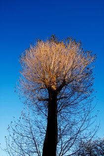 Tree Top Sun von Steve Ball