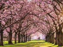 Kirschblüte in Schwetzingen von Andreas Wonisch