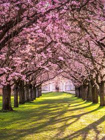 Kirschblüte von Andreas Wonisch