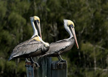 Pelican Threesome by John Bailey