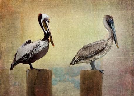 1bl4752-pelicans
