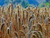 cornfield von urs-foto-art