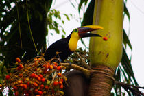 Swainson Toucan losing a palm fruit von Jörg Sobottka