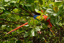 Scarlet Macaw in the wild - Costa Rica by Jörg Sobottka