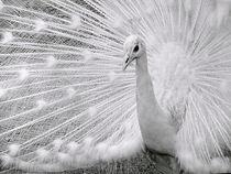 White Peafowl by Irfan Gillani