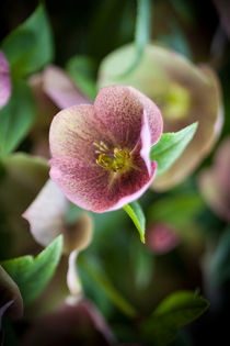 Hellebore von David Tinsley