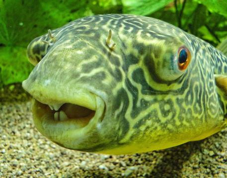 Kugelfisch Zähne