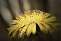 Yellow flower by leddermann