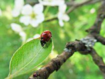 Marienkäfer, Ladybird von Olivia Narius