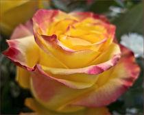 Rosenschön von lisa-glueck