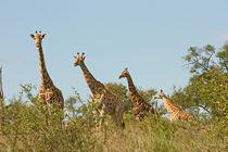southafrica ... Giraffenstaffel von meleah