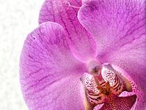 Pinke Orchideen von leddermann