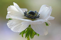 anemone by Barbara Brolsma