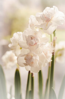 White narcissus and early spring von 7horses