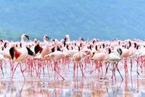 Flamingos auf Brautschau by Jürgen Feuerer