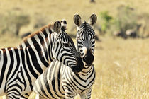 Zebras in der Savanne von Jürgen Feuerer
