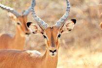 Gesicht einer Impala Antilope by Jürgen Feuerer