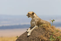 Gepard (Acinonyx jubatus) von Ralph Patzel