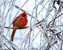 Cardinal in the Willow III by Jon Woodhams