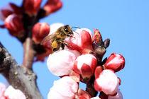 Bee in almond blossom von Jörg Sobottka