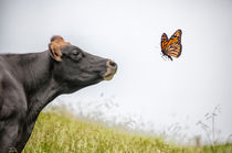 Cow-profile-with-butterfly-for-faa