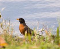 Robin Viewing Surroundings by John Bailey