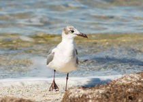 The Laughing Gull Strut by John Bailey