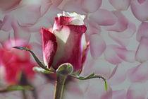Herz-rose-1400-3