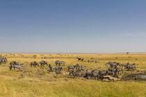 Steppenzebras (Equus quagga) von Ralph Patzel
