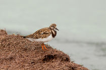 Ruddy Turnstone by the Waters Edge by John Bailey