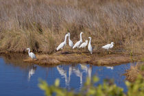 Snowy Egret Convention by John Bailey