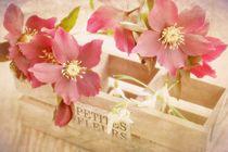 Christrosen Blumen Stillleben Vintage von Tanja Riedel