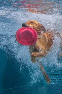 Labrador Underwaterfrisbee by Magnus Pomm
