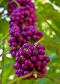 American Beautyberry (Callicarpa americana) by Jon Woodhams
