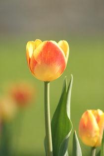 Die Morgen Tulpe... by Wladimir Zarew