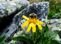 Bumble bee on a flower von Tudor Buzle