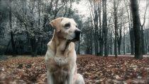 Labrador Retriever von Wolfgang Janisch