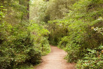 A Path to the Redwoods von John Bailey