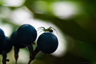 Spider-and-grapes
