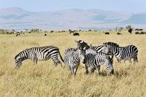 Zebraherde in der afrikanischen Savanne von Jürgen Feuerer