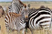 Junges Zebra an der Seite seiner Mutter von Jürgen Feuerer