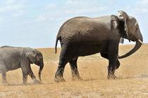 Elefanten Rückkehr aus den Sümpfen von Jürgen Feuerer