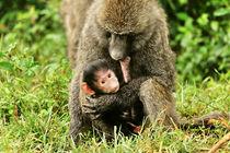 Pavianbaby in den Armen seiner Mutter von Jürgen Feuerer