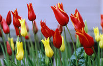 Tulips Red and Yellow by Sally White