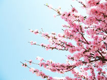 Pink Blossom by Cally Creates