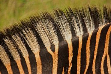 Zebra-detail