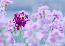 Tulpe I von berit  behrens